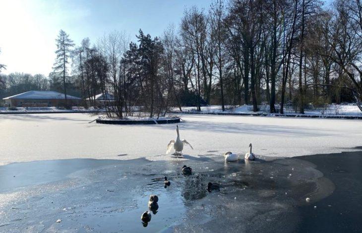 Stadt Rheinberg – tierliebe Rheinberger sorgen sich um Schwäne im Stadtpark