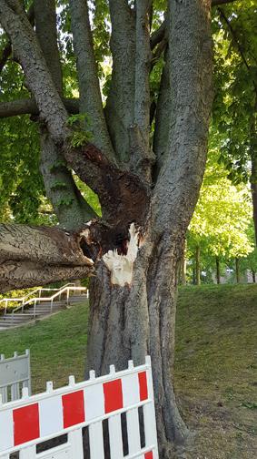 Stadt Moers – sechs kranke Bäume im Schloss- und Freizeitpark müssen fallen