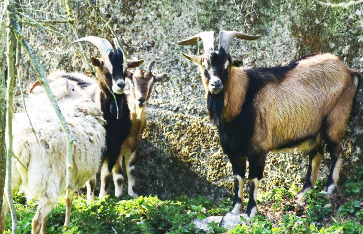 Rheinberg-Orsoy – Ein neues Zuhause für ein Schaf und vier Ziegen