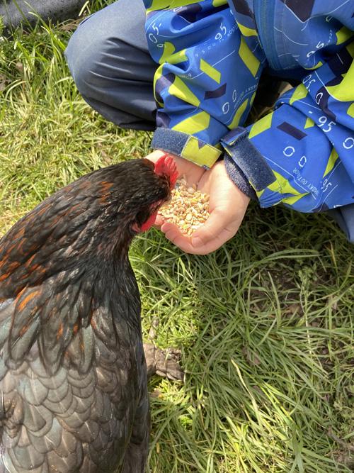 Stadt Kamp-Lintfort – Chicken on tour: Fünf Hennen für das Familienzentrum Wirbelwind